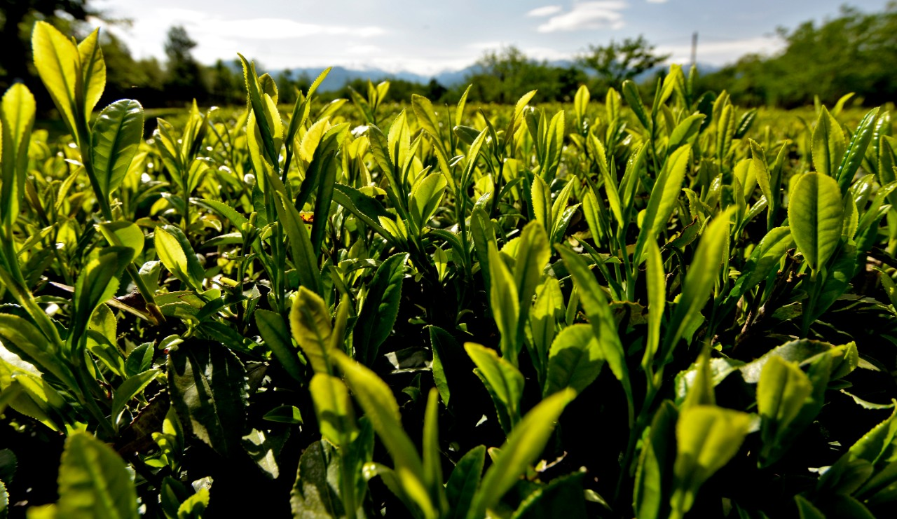 Gurian tea: rebirth of tradition and trade